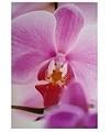 Wandbild Orchidee rosa 70x100cm